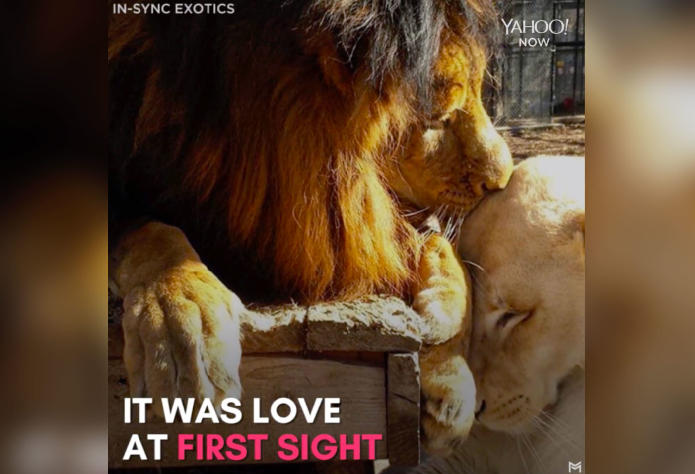 Love Saved This Adorable Lion's Life
