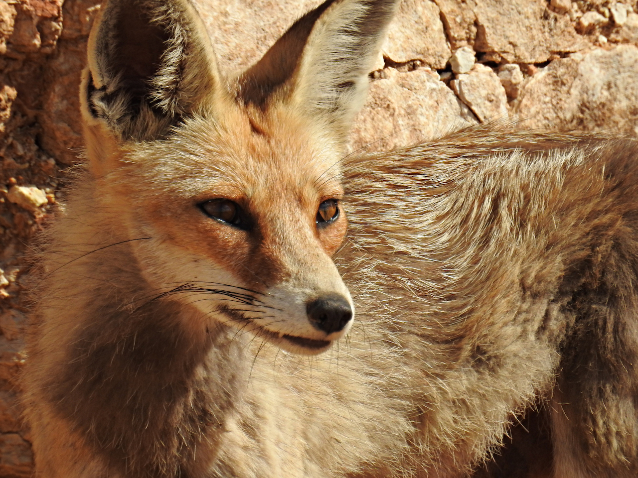 Foxes Spotted Walking on Western Wall Fulfill Biblical Prophecy