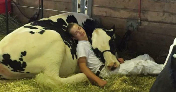 Boy And Cow Lose At State Fair, Take A Nap Together And Win Hearts Of Millions Instead