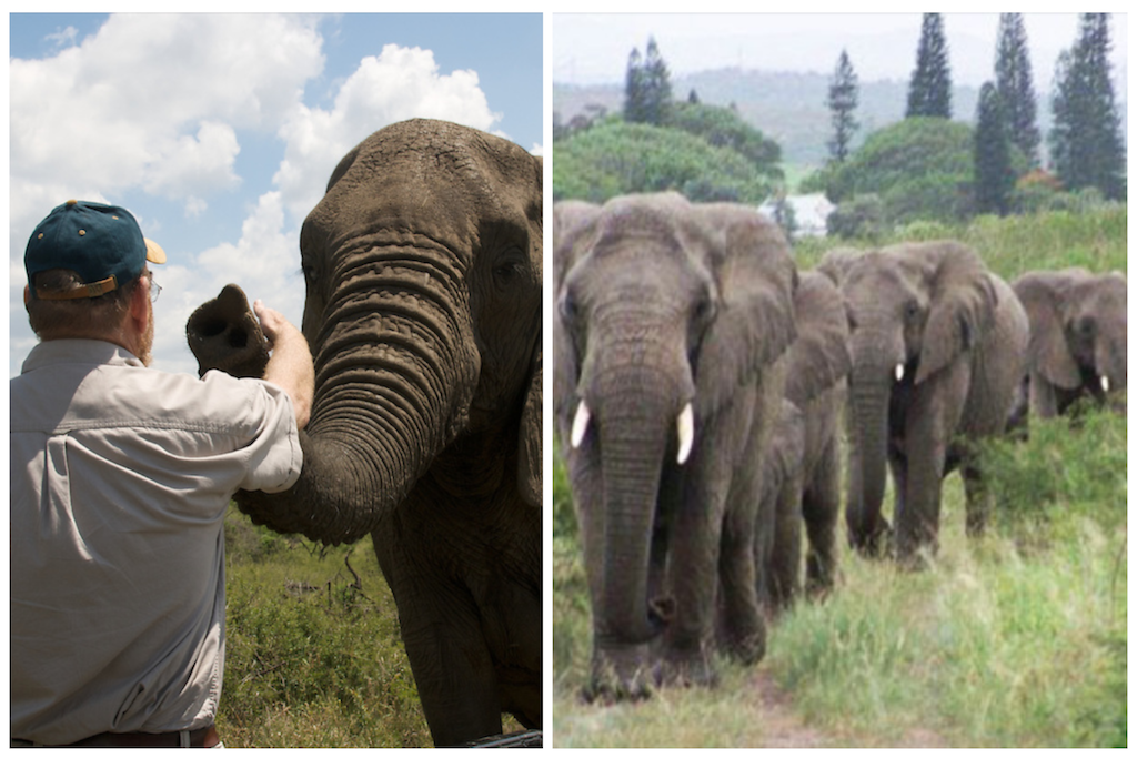 Elephants Walk 12 Hours to Pay Respect to Human Friend Who Passed Away